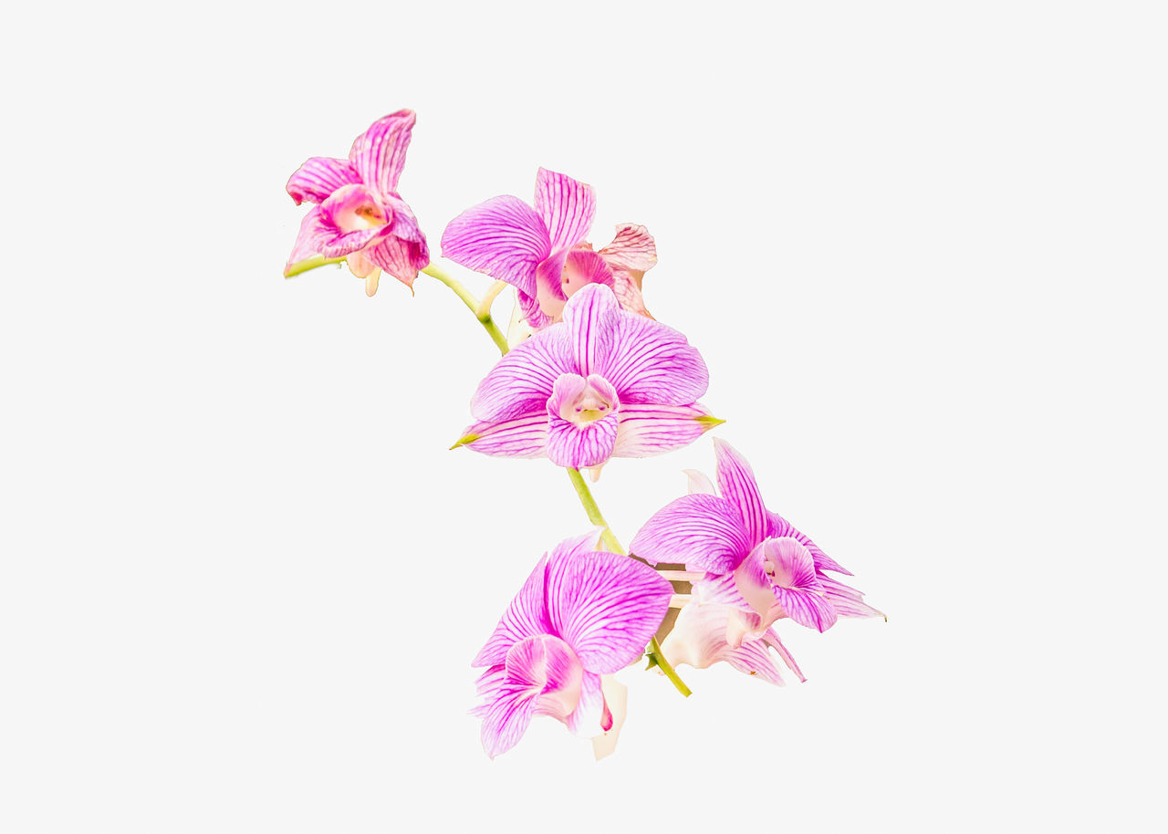 flower, studio shot, white background, fragility, pink color, petal, copy space, flower head, beauty in nature, no people, freshness, nature, close-up, clear sky, growth, day, periwinkle, outdoors