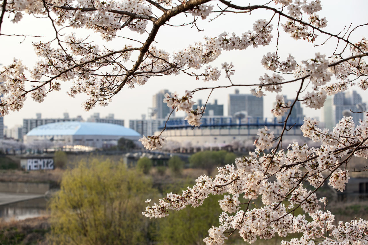 Close-Up Of Flowering Tree With City In Background