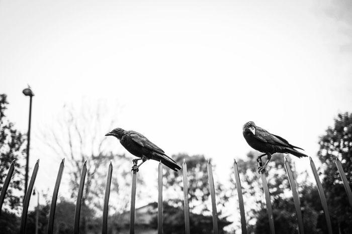 Birds Black And White Crows Fence Low Perspective Outside Perched Trees