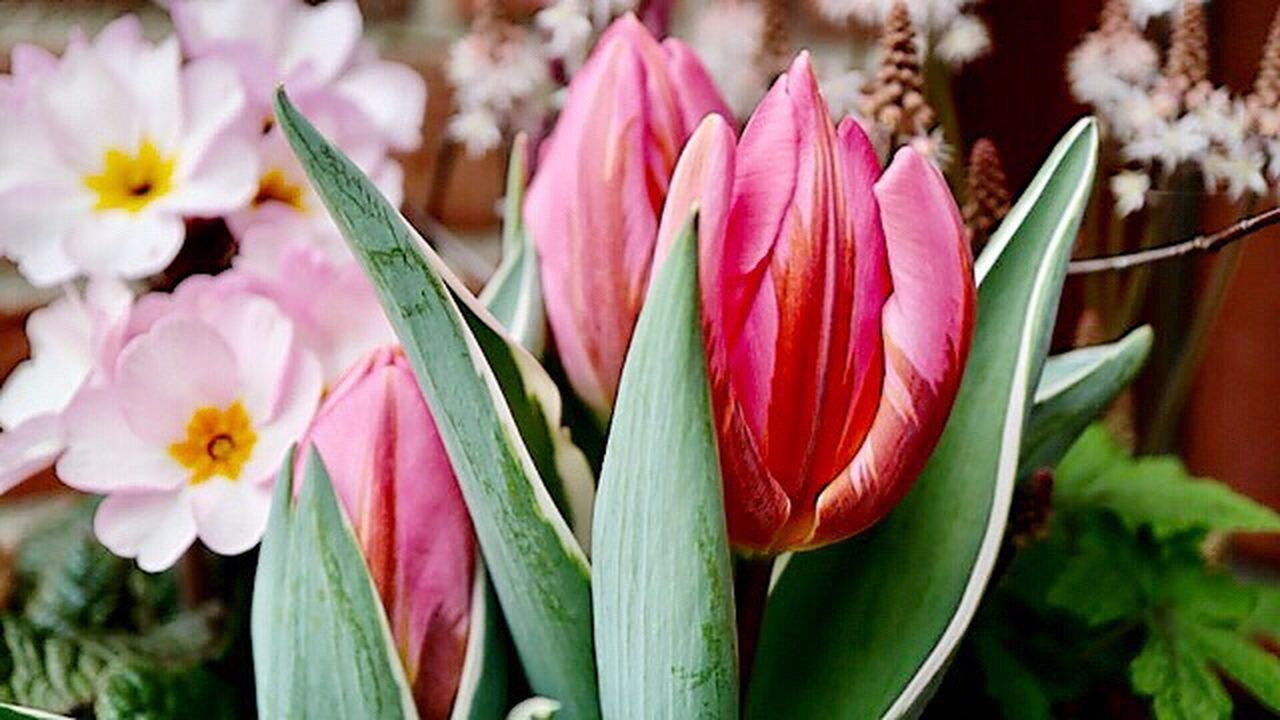 💚🌷💚H a p p y-W e e k e n d💚🌷💚 Flower Freshness Beauty In Nature Fragility Nature Growth Petal Flower Head Plant Close-up Pink Color Blooming No People Day Outdoors Tulips🌷 Enjoying Life My World ♥ Hobbyphotography March Daswasichsehe😊 Saturday Beauty In Nature Blütenschönheit Naturelovers