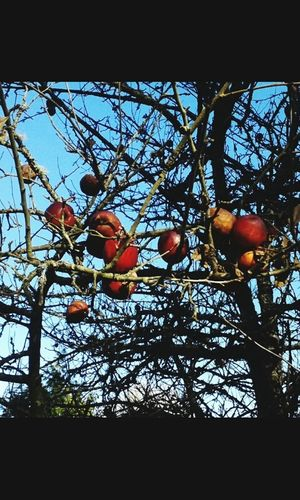 Taking Photos Walking Around Apples Tree_collection  TreePorn Tree Apple Tree Pacific Northwest  Galaxy Ace Samsung Galaxy Camera Just Taking Pictures Open Edit First Photo 2016 Nature's Bounty Nature_collection EyeEm Nature Lover