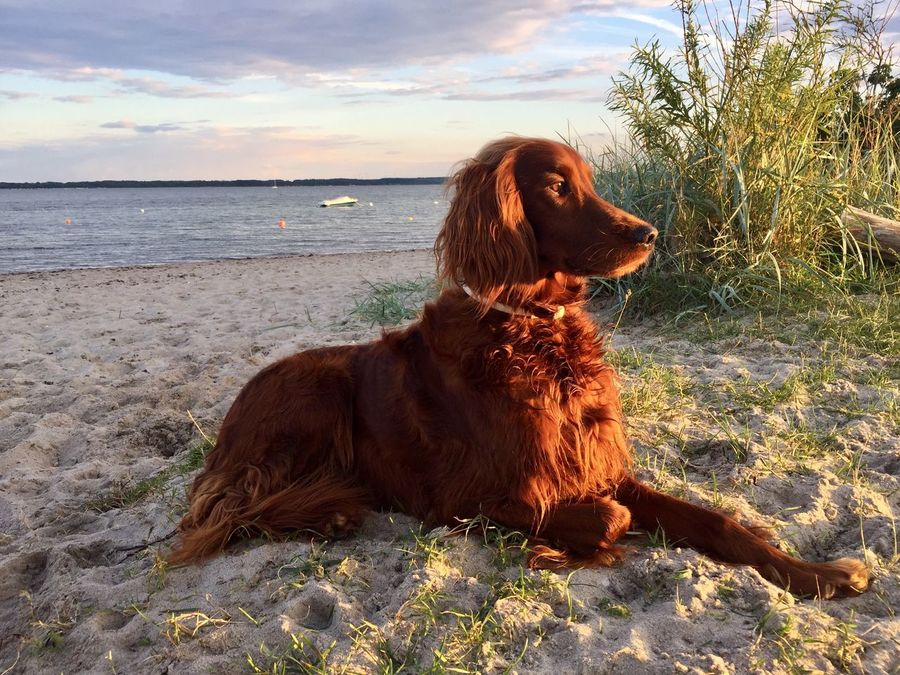 Irish Setter Setter Irlandes Dog Pets Animal Themes Sand No People Nature Sky Domestic Animals One Animal Mammal Sitting Day Beach Outdoors Water Horizon Over Water Close-up