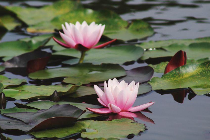 Water Flower Pond Water Lily Lotus Water Lily Beauty In Nature Leaf Petal Nature Lotus Floating On Water Growth Lily Pad Fragility Flower Head Freshness Plant No People Reflection Pink Color