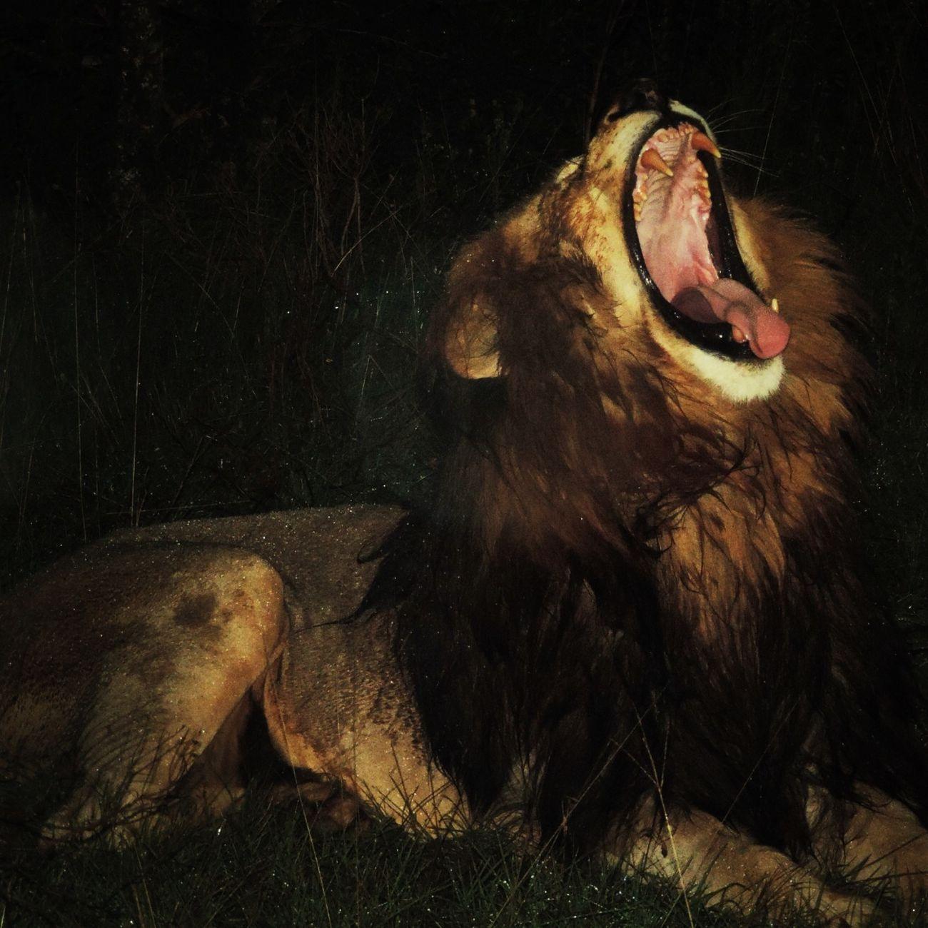Leon Lindo Gatito Increible esperiencia. Safari en Sudáfrica