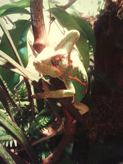 Chameleon Veiled Chameleon Yemen Chameleon Vivarium Terrarium Green Reptiles Reptile