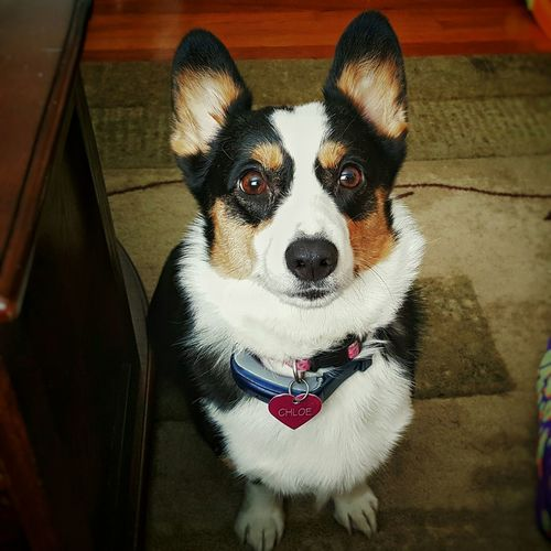 Happy 4th Birthday, Chloe! Birthdaygirl Birthday Birthdaydog 4yearsold Pembrokewelshcorgi Corgi