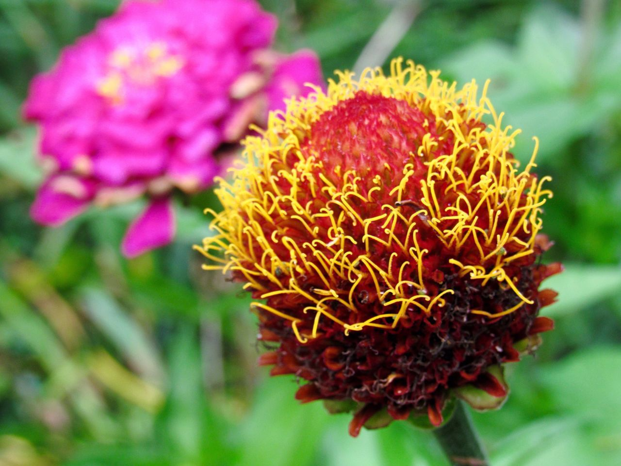 Close-Up Of Zinnia Flower Blooming On Field