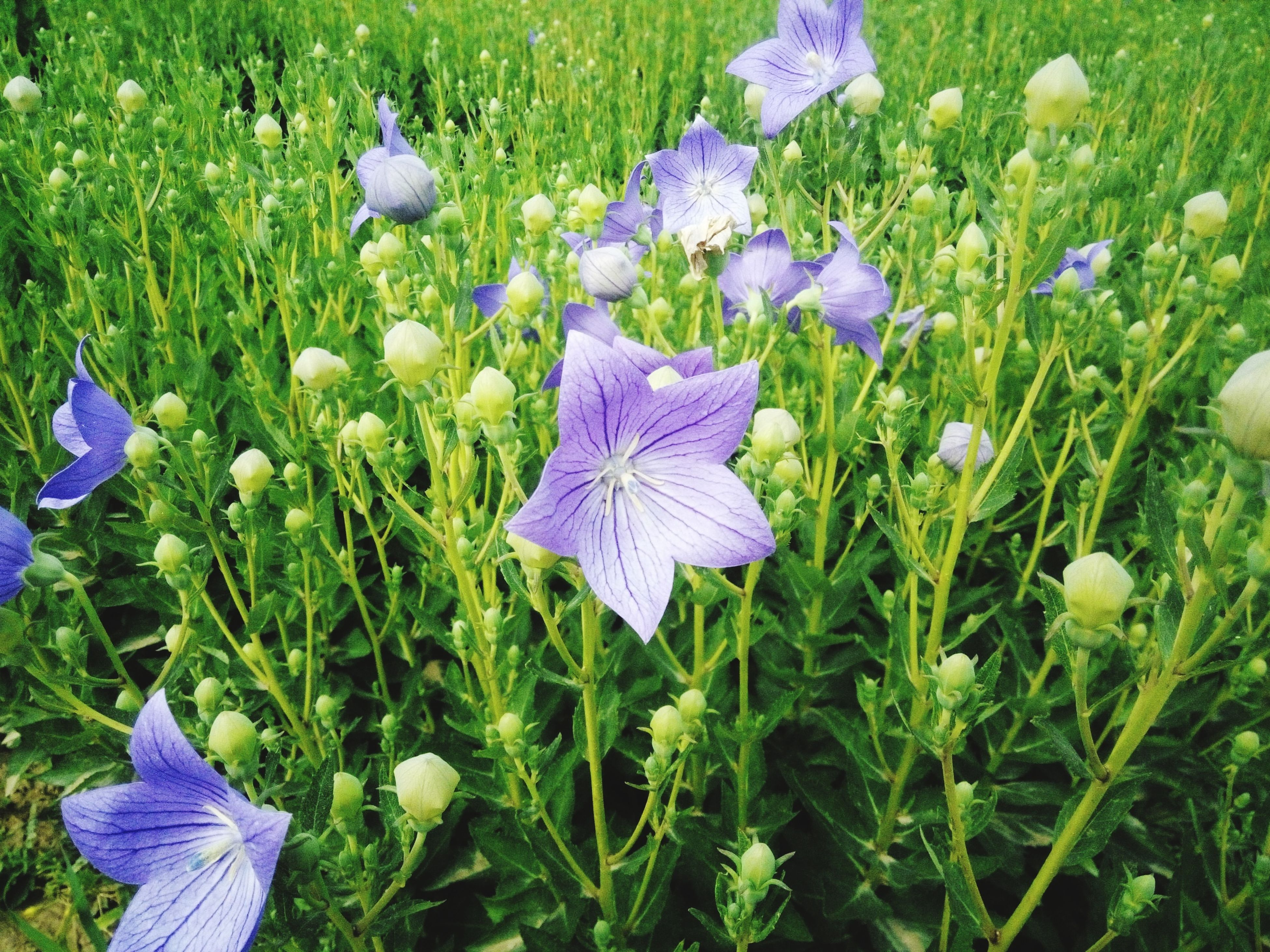purple, flower, blue, fragility, field, freshness, grass, growth, beauty in nature, petal, nature, plant, flower head, high angle view, blooming, green color, day, crocus, close-up, outdoors