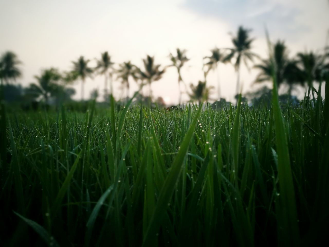 grass, growth, nature, field, green color, wheat, agriculture, no people, landscape, clear sky, beauty in nature, outdoors, sky, close-up, day