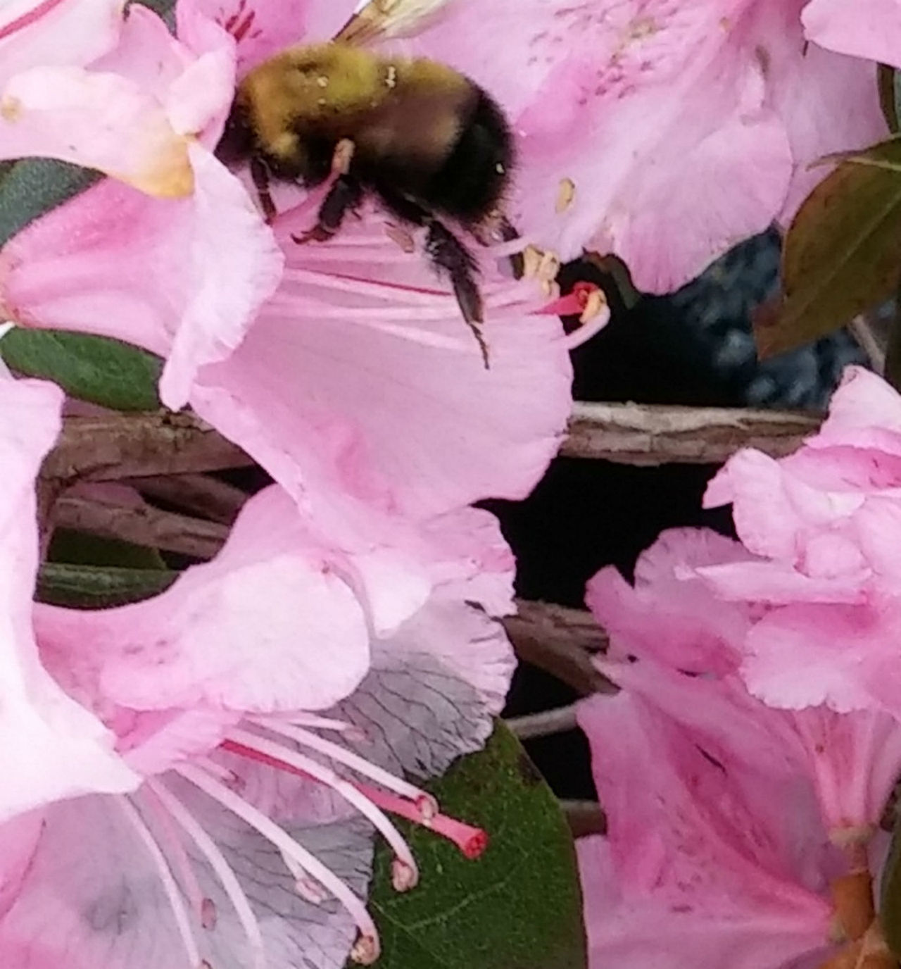 Beauty In Nature Bees Gathering Pollen Blooming Bumble Bees Close-up Day Flower Flower Head Fragility Freshness Growth Nature No People Outdoors Petal Pink Color Plant Violet Flowers