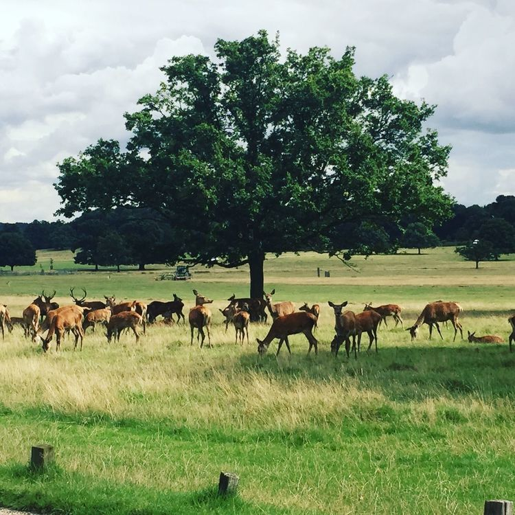 Way To Work Deer Tree Richmond Park, London Tree And Sky Trees Tree Lovers Tree_collection  Animals Ciervos On My Way