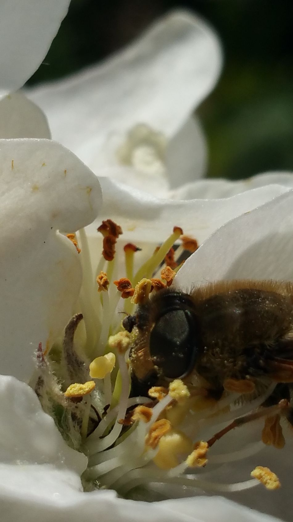 Bee Apple Blossom