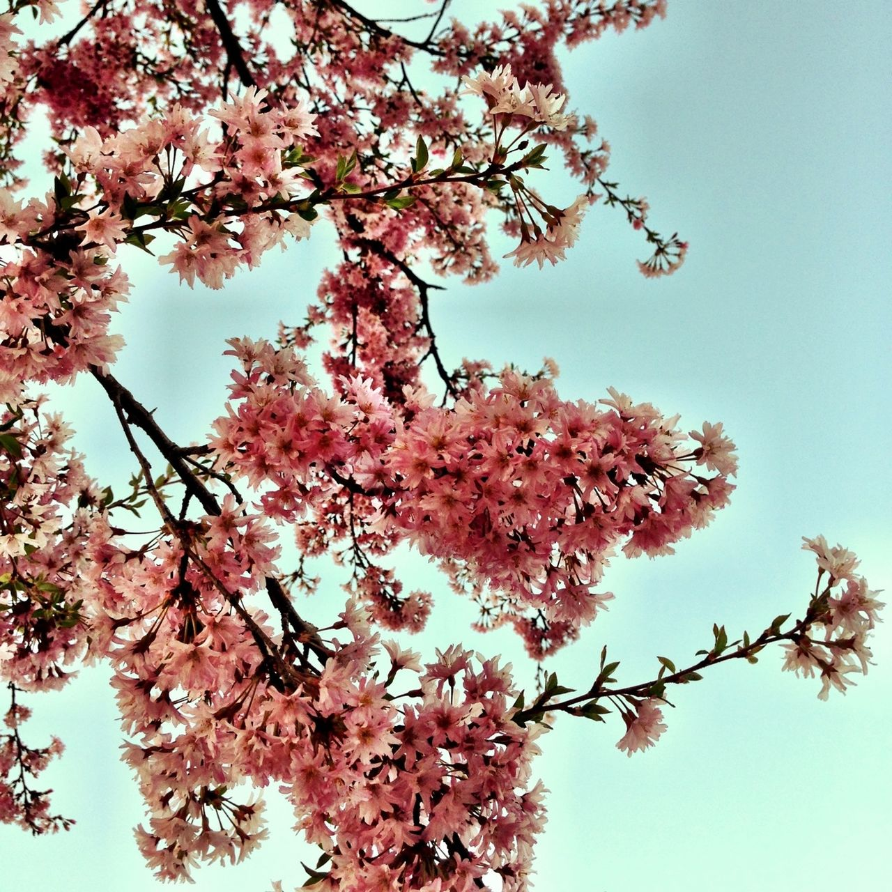 Beautiful stock photos of cherry, Backgrounds, Beauty In Nature, Blossom, Botany