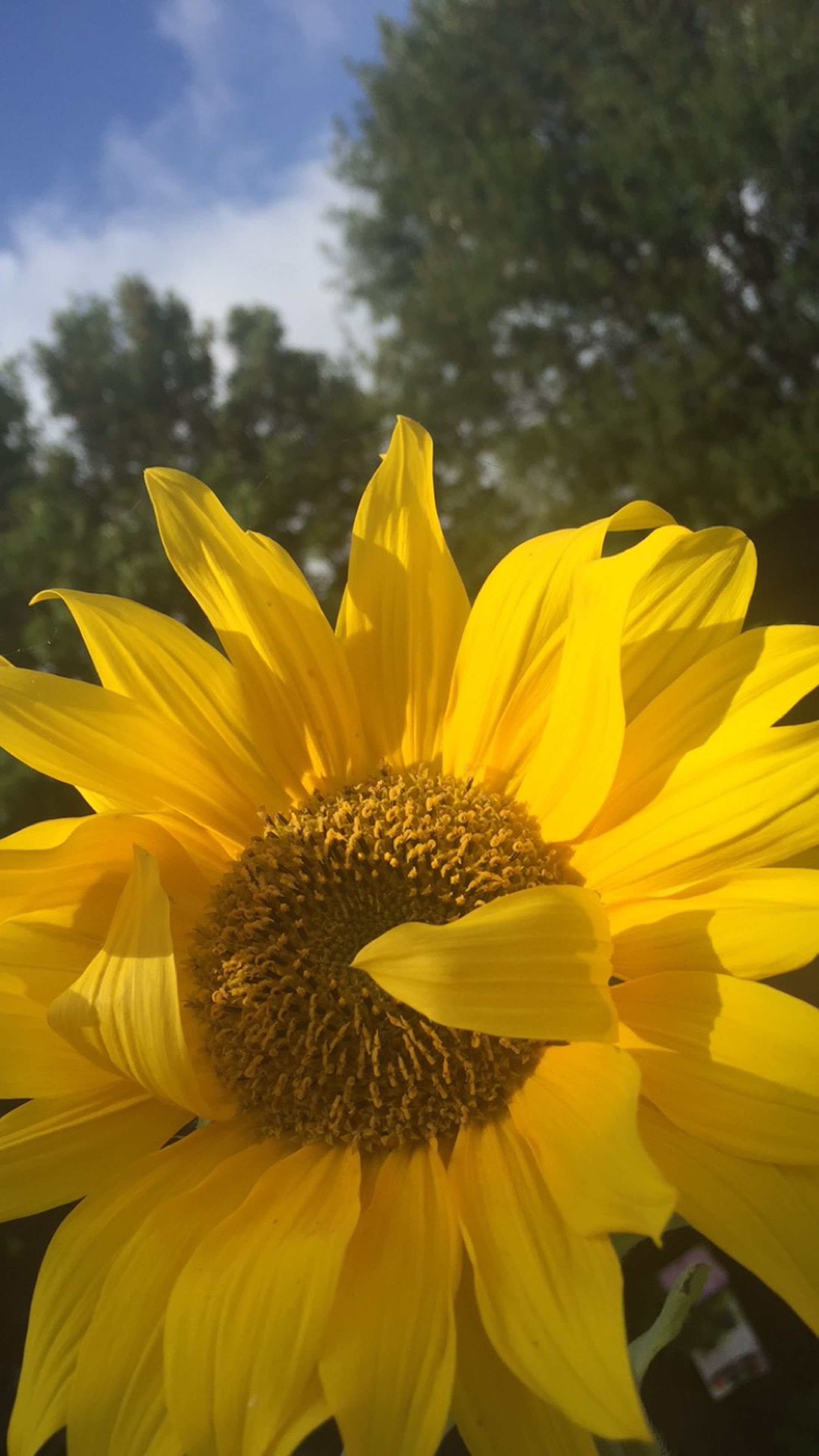 flower, petal, yellow, freshness, flower head, fragility, growth, close-up, pollen, beauty in nature, focus on foreground, blooming, single flower, sunflower, nature, plant, in bloom, day, outdoors, stamen