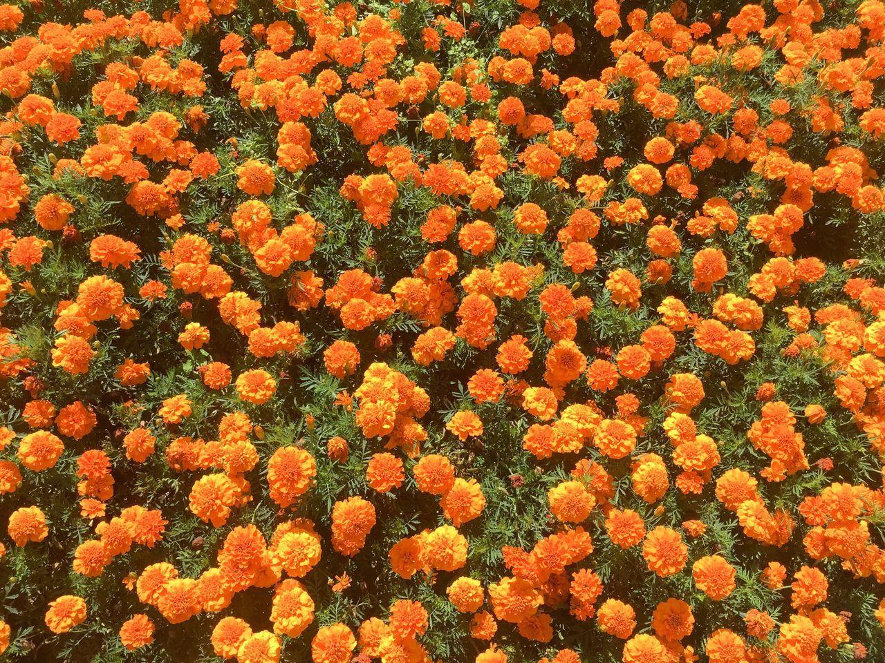 Flowers Flower Power Meadow Grassland Pasture Orange Hawkwee Nature Spring Summer