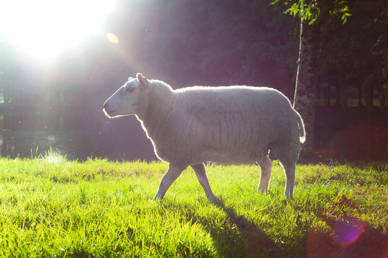A sheep in the morning from the side. Animal Themes Beauty In Nature Day Field Flare Grass Green Color Morning Light Nature Nature Nature Photography Nature_collection No People One Animal Sheep Sheepworld Sheep🐑 Side View Standing Walking Walking Alone...