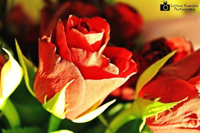 Flowers Redroses Freshgreen