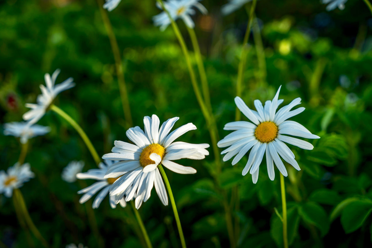 Beauty In Nature Blooming Close-up Day Flower Flower Collection Flower Head Flowers Fragility Freshness Growth Margeriten Marguerite Nature Nature Nature On Your Doorstep No People Outdoors Petal Plant Spring White Color Yellow
