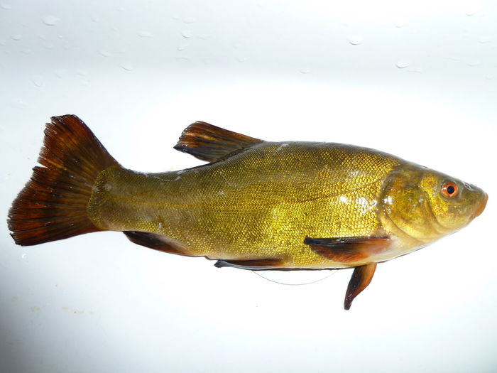 Doctor Fish Tinca Tinca Animal Fin Animal Themes Animals In The Wild Close-up Day Fish Fishing Indoors  Nature No People One Animal Sea Life Seafood Swimming Tench Water White Background