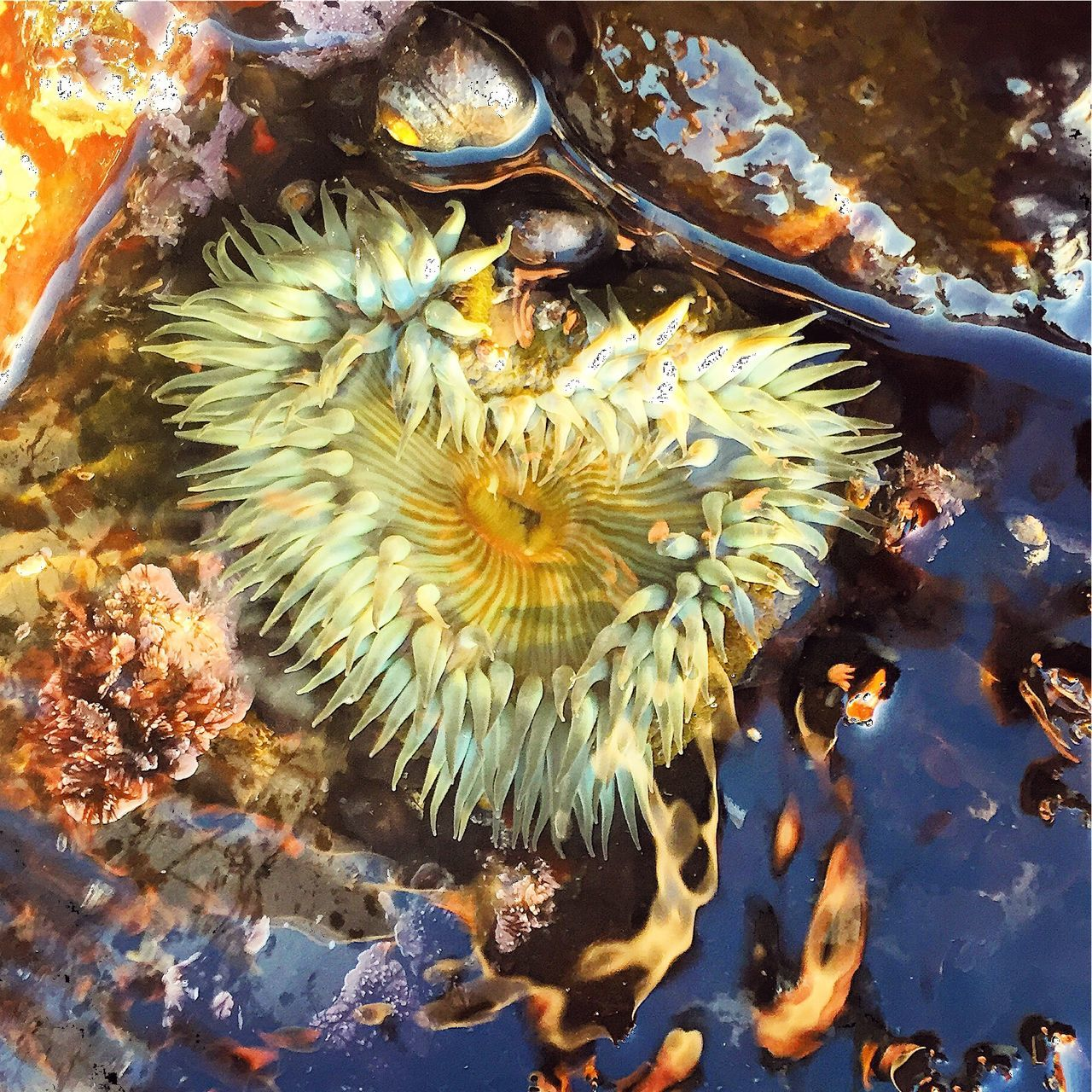 Anemone Heart HeARTsy HeartsINature Hearts In Nature Sea Life Marine Reserve Marine Life Sea Creature Sea Tidepools Tidal Pools Moss Beach Love Finding Love Find It In Everything Hearts Heart Hunter The Daily Heart Heartist Heartistry I Found Love