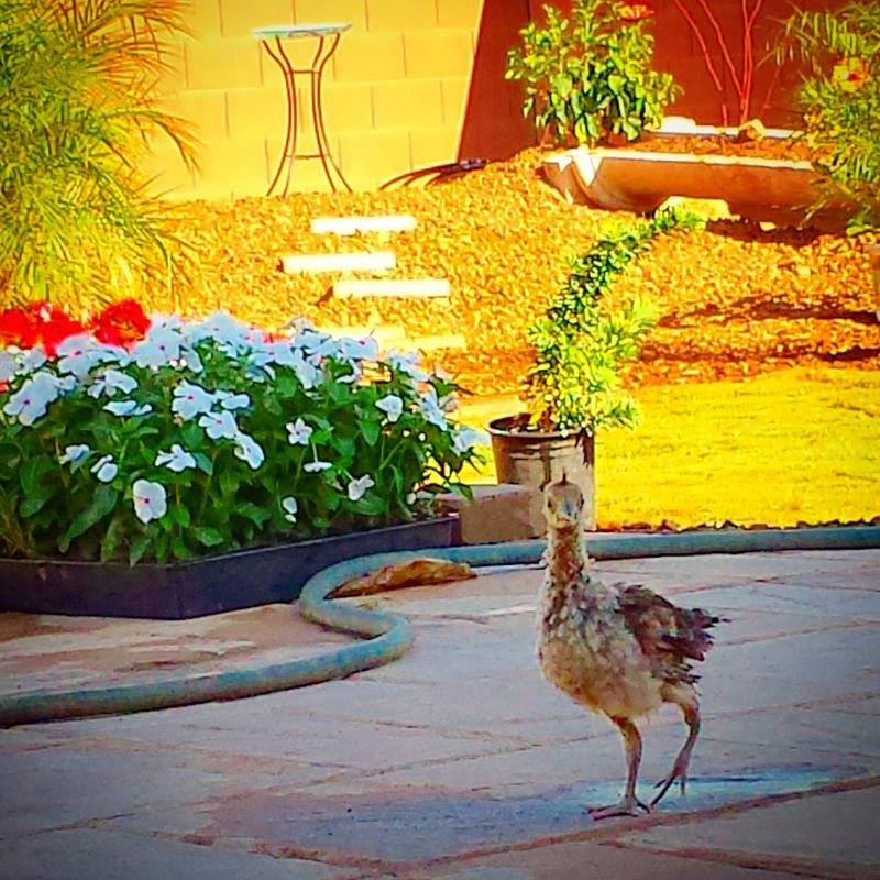 Radaghast The Peacock WantaHandyman Phoenix Landscaping Checkthisout