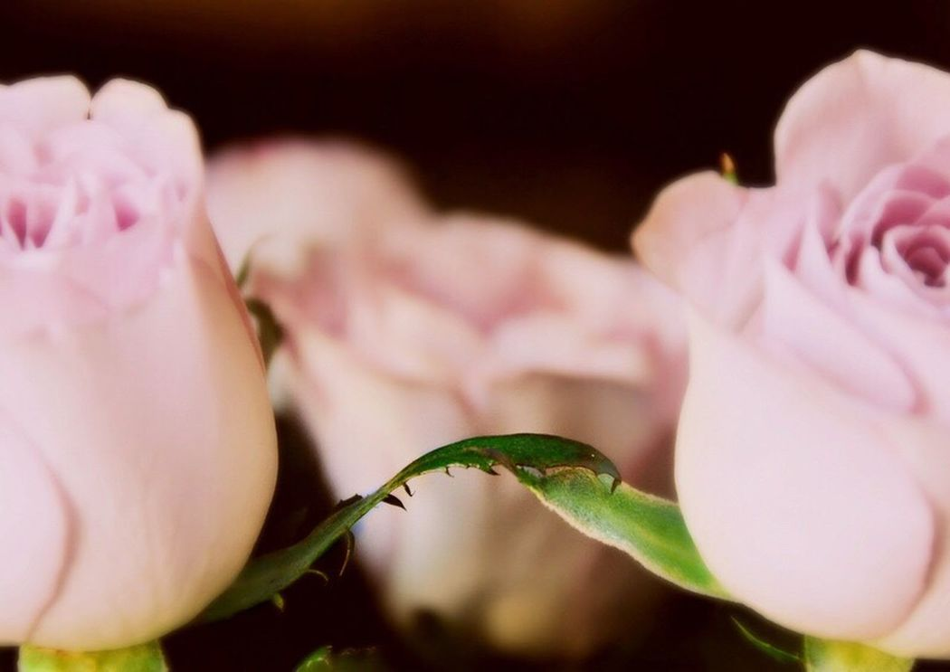 Two Of A Kind Twoflower Pink Rose Couple Leaves Love Romantic Romance Pastel Power Nature_perfection Macro Photography Two Colours Seeing The World Differently