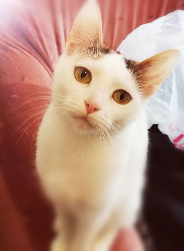 Pet Photography  Cats 🐱 Tricolor Tricolor Cat Little Cat Cat Pets Portrait Animal Kitten Cute No People Domestic Cat Close-up Looking At Camera Feline Domestic Animals Mammal Indoors  Animal Themes Day First Eyeem Photo