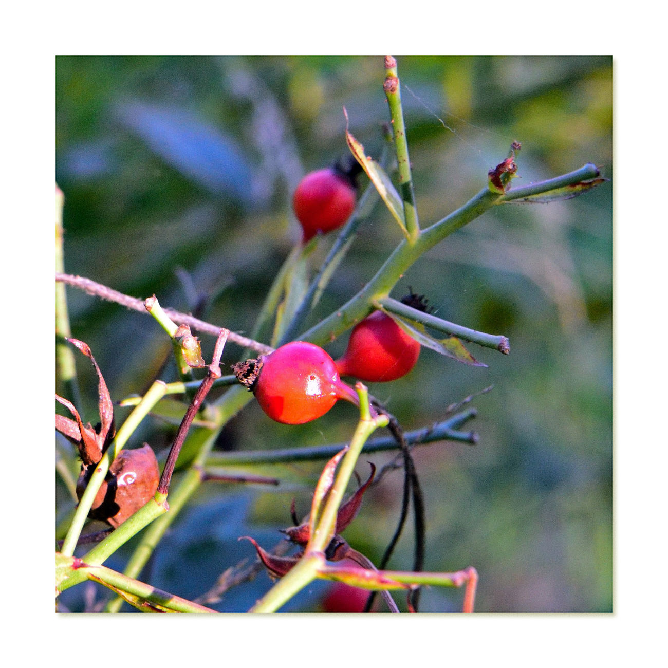 Rose Hips 2 Marcom Amphitheater Of Roses Oakland, CA Rose Haw Rose Hep Rose HipsNature Fruit Of Rose Plant Post Pollination Of Flowers Ripen Late Summer Through Autumn Botany Rich In Vitamin C Oils Are Used For Fragrances Carotenoids: Beta-carotene,lutein,zeazanthin,lycopene Itching Powder Made From Fine Hairs Inside Hips Used For Teas,jam,jelly,syrup,soup,wine,beverages Beauty In Nature Healthy Eating Fruit Food