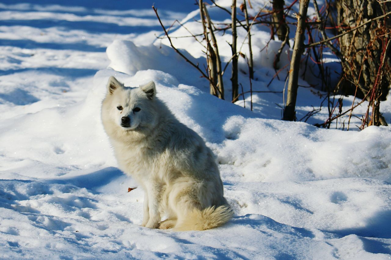 White Beautiful American Husky Dog Cold Temperature Snow One Animal