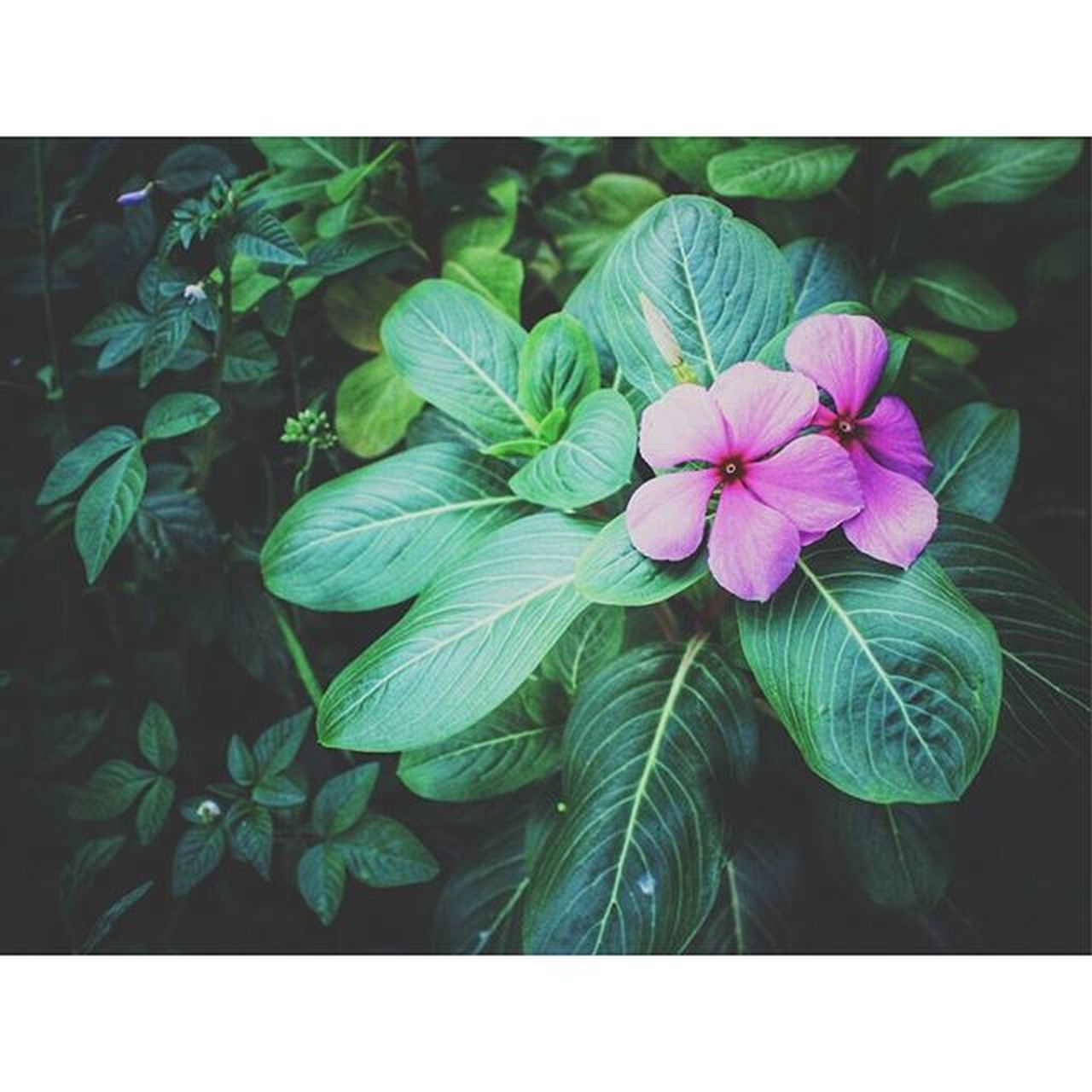 Such a beaute. I always see this flower when I'm on a walk for a good subject. Are we destined for each other, Love? Flora Flowersofinstagram Flowerstagram Flowersforyou Flowerporn Flowerpower Flowers Purple Streetphotography Stillphotography Still Vscogrid Vscocam Vscophile VSCO Canon Canonphotos Canonphotography Canon_official Canon_photos Wanderlust Vagabond Outandabout Walkwithme Viewbugcan