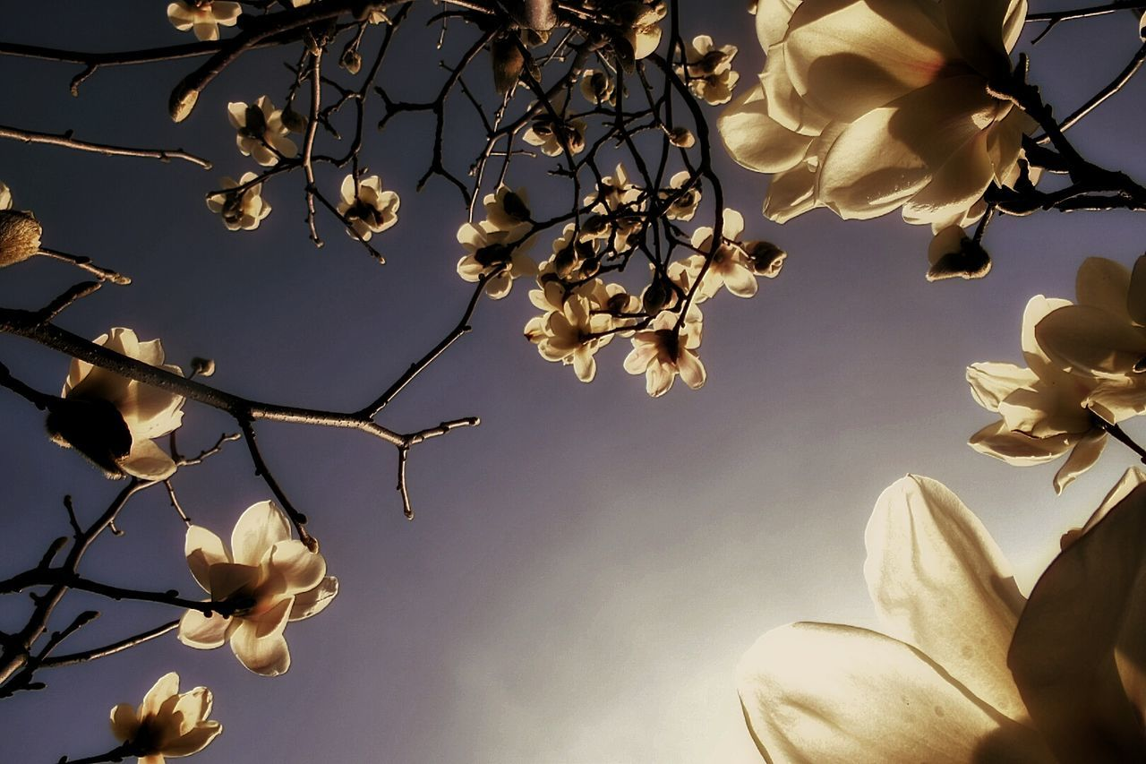 Beautiful stock photos of magnolie, Back Lit, Beauty In Nature, Blooming, Branch