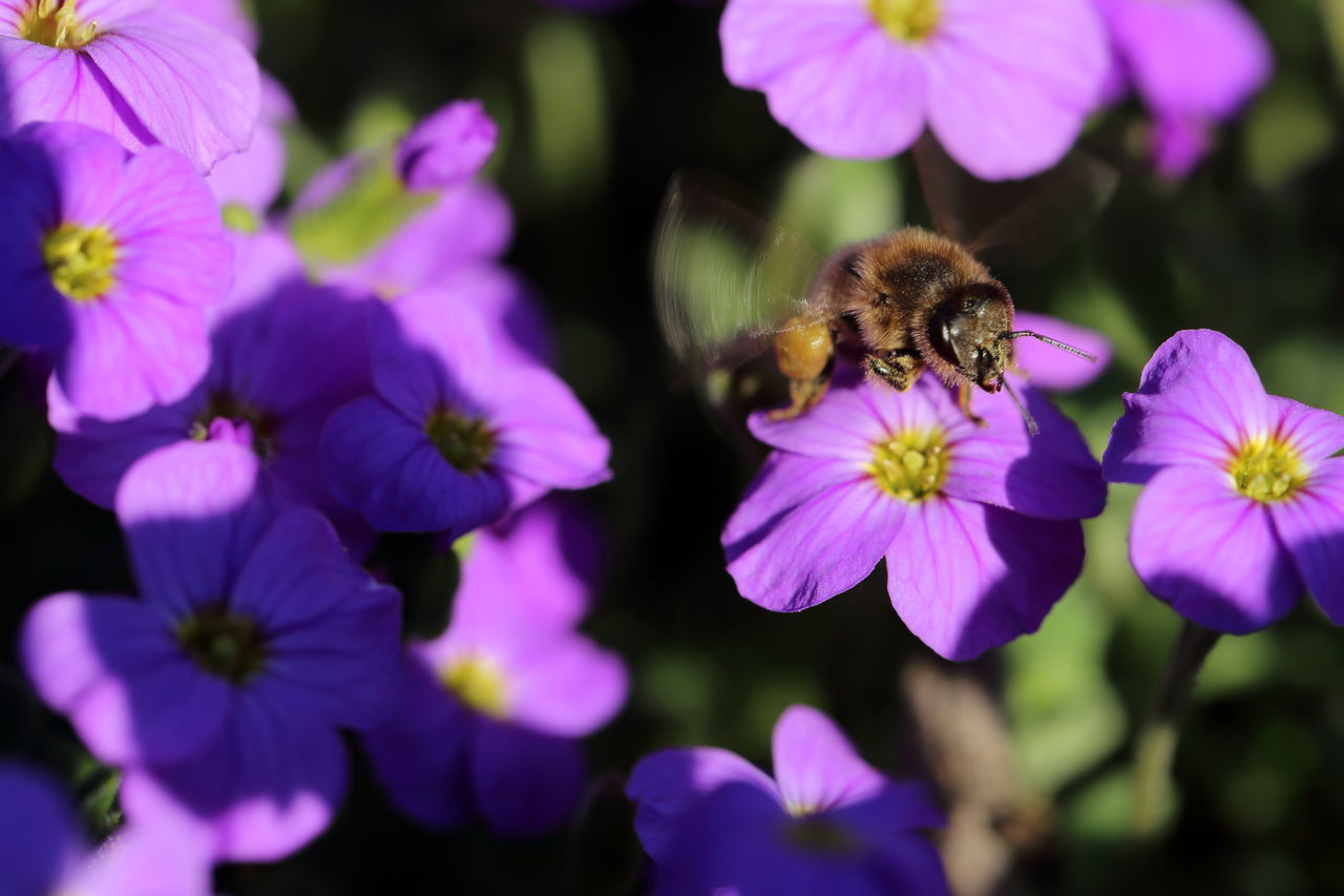 Bee lift off. Aubrieta Bee Blaukissen Blooming Buzzing Close-up Enjoying Life Eye4photography  EyeEm Best Shots EyeEm Nature Lover Flower Flower Head Garden Insect Leaving Light And Shadow Motion Motion Blur Nature One Animal Pollination Purple Spring Starting Take Off