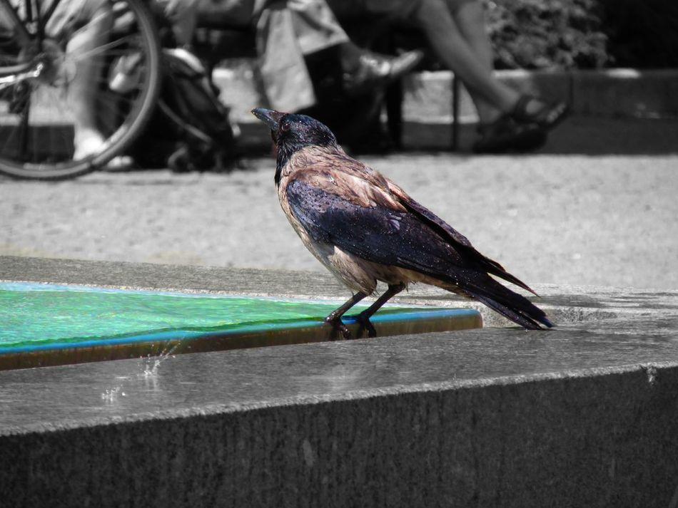 The Street Photographer - 2015 EyeEm Awards Streetphotography EEA3 EEA3 - Dresden Eye4photography  Details Getting Inspired Water Bluewater Crow