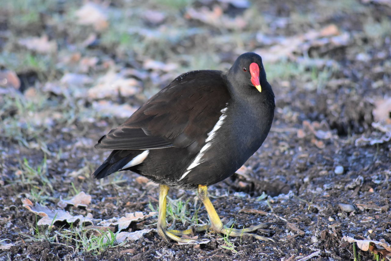 moorhen Bird One Animal Animal Themes Animals In The Wild Black Color Animal Wildlife Close-up Beak Outdoors Day Nature No People Water Bird Frosty Mornings Early Morning Frost LONDON❤ Greenwich Park