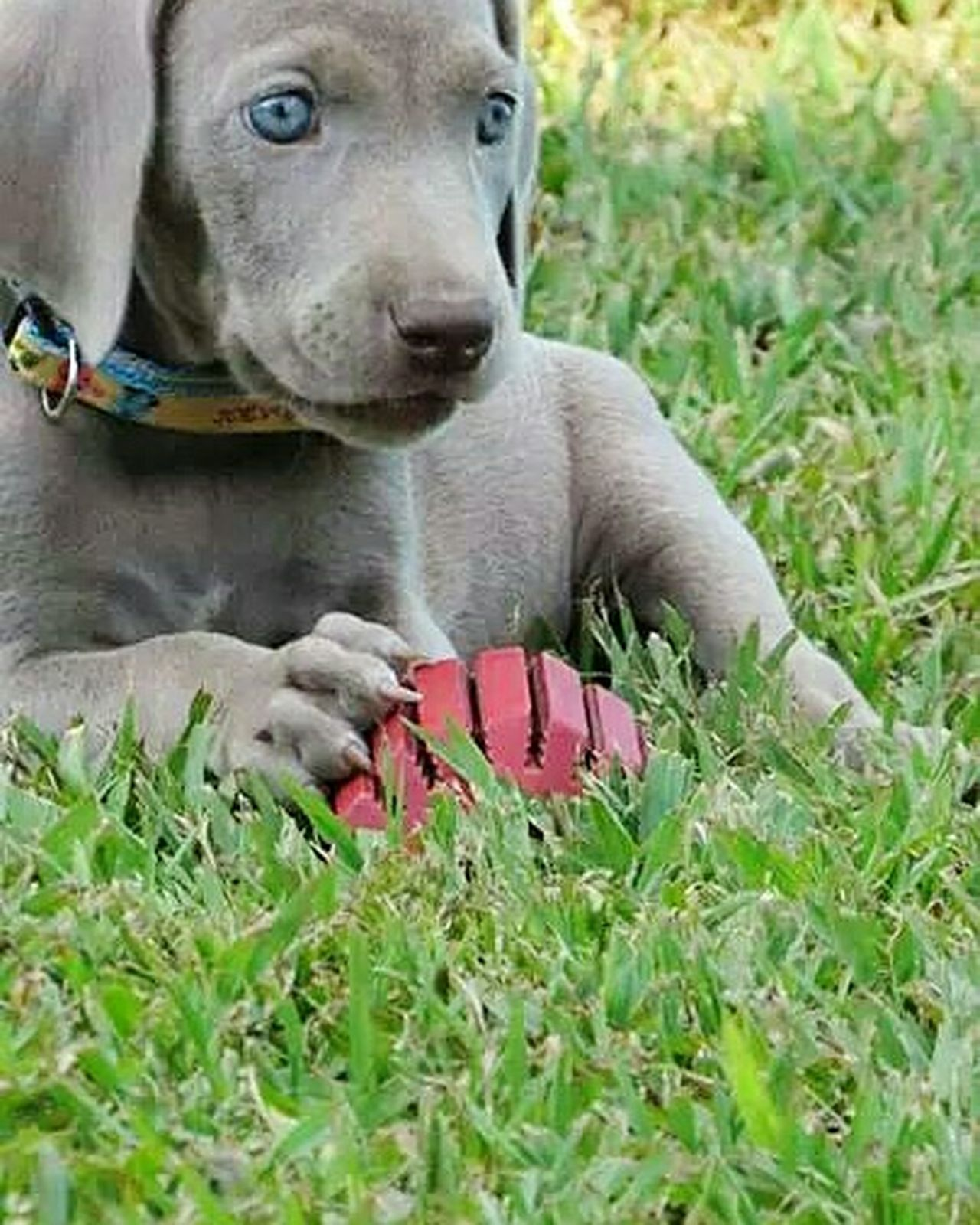 Weimaraner Puppy Mammal One Animal Animal Themes Pets Domestic Animals Grass Dog Looking At Camera Close-up Outdoors Portrait No People Day