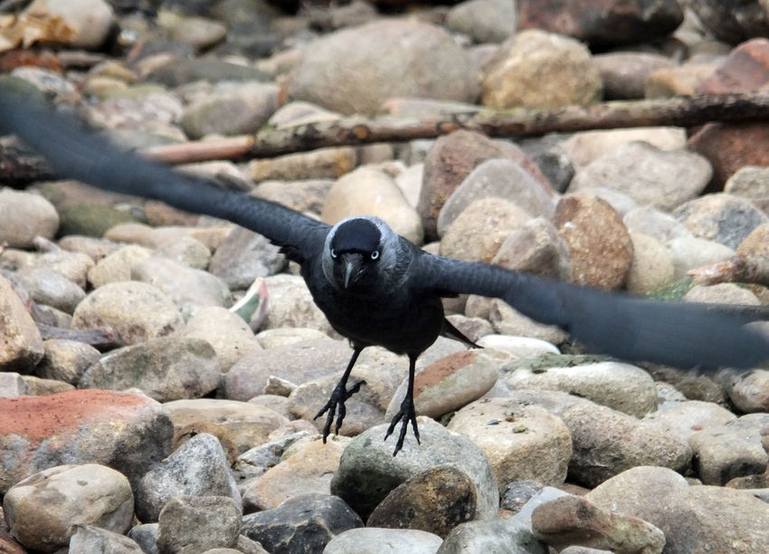 crow taking off from rocks Animal Themes Animals In The Wild Bird Close-up Crow Crow Flying Crow Flying Off Crows Day Gothic Jackdaw Nature No People One Animal Outdoors Pebble Rock - Object Water