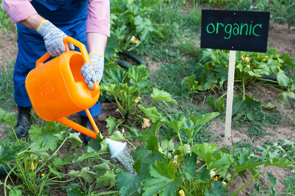 Farmer watering organic vegetable garden Agriculture Certified Farmer Gardening Growth Natural Nature Working Zucchini Certification Ecological Environment Farming Food Garden Healthy Organic Organically Private Safe Soil Vegetable Water Watering