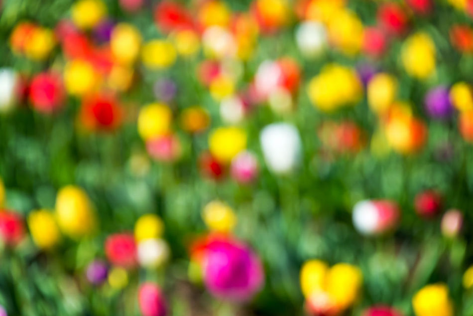 Vibrant and colorful out of focus background of tulips Beauty In Nature Bokeh Colorful Day Flower Flowers Freshness Green Nature No People Oregon Out Of Focus Outdoors Pacific Northwest  Pink Purple Red Row Rows Tulip Tulips United States USA Woodburn Yellow