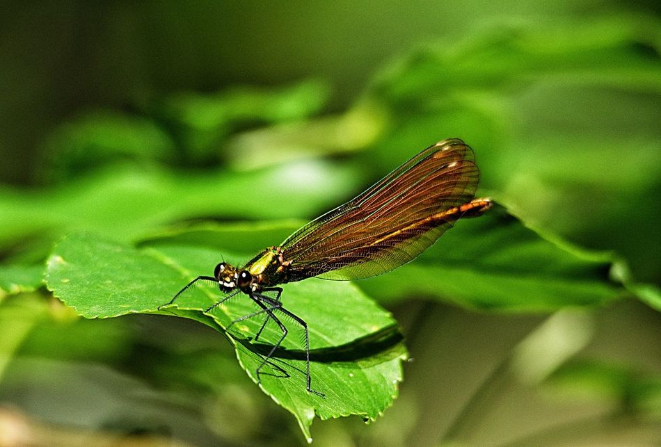 On the leaf. Close-up Dragonfly E-M1 Green Green Color Insect Leaf Nature Olympus Olympus OM-D EM-1 OM-D OM-D E-M1 Wildlife