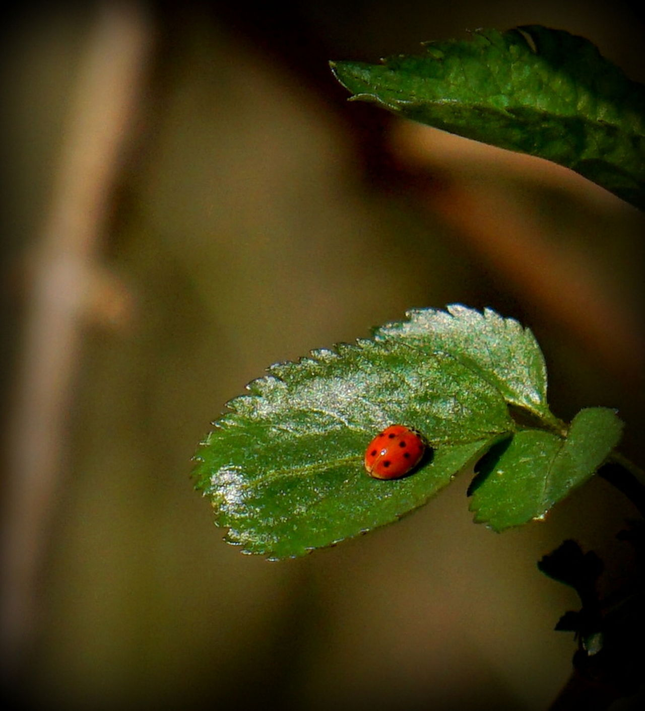 Animal Themes Animal Wildlife Animals In The Wild Beauty In Nature Close-up Day Focus On Foreground Insect Ladybug Leaf Nature No People One Animal Outdoors
