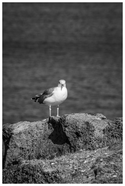 Canon 550 D Relaxing Seagull Black And White Bw Photography 70-300 TAMROM Rabo De Peixe Açores - Portugal São Miguel - Açores