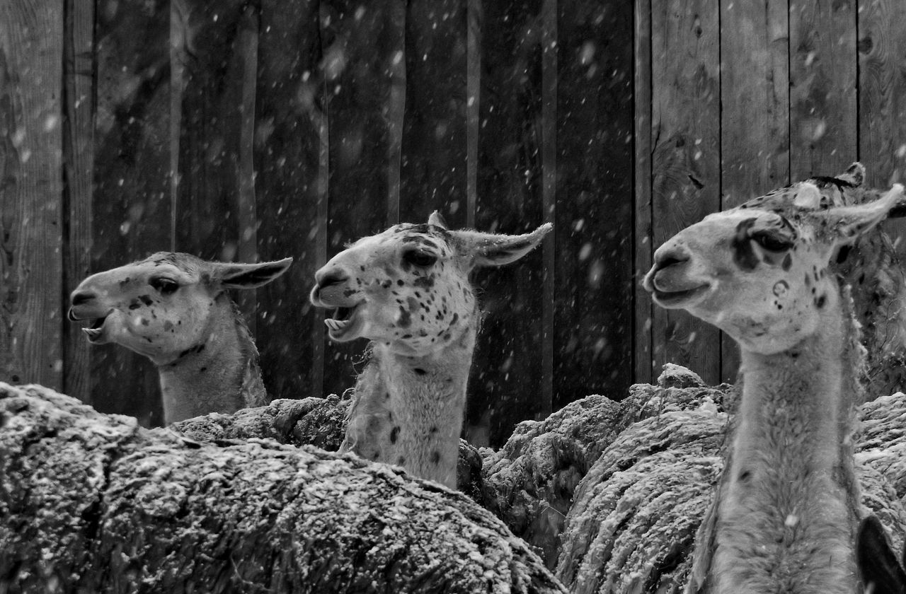 Blizzard 2016 Monochrome Animal Photography Nature's Diversities Showcase: February Malephotographerofthemonth Snowing Snow ❄ Photographic Memory Animal Portrait Capture The Moment Showing Imperfection My Favorite Photo The Moment - 2016 Eyeem Awards The Great Outdoors - 2016 EyeEm Awards The Following The Portraitist - 2016 EyeEm Awards Ice Age