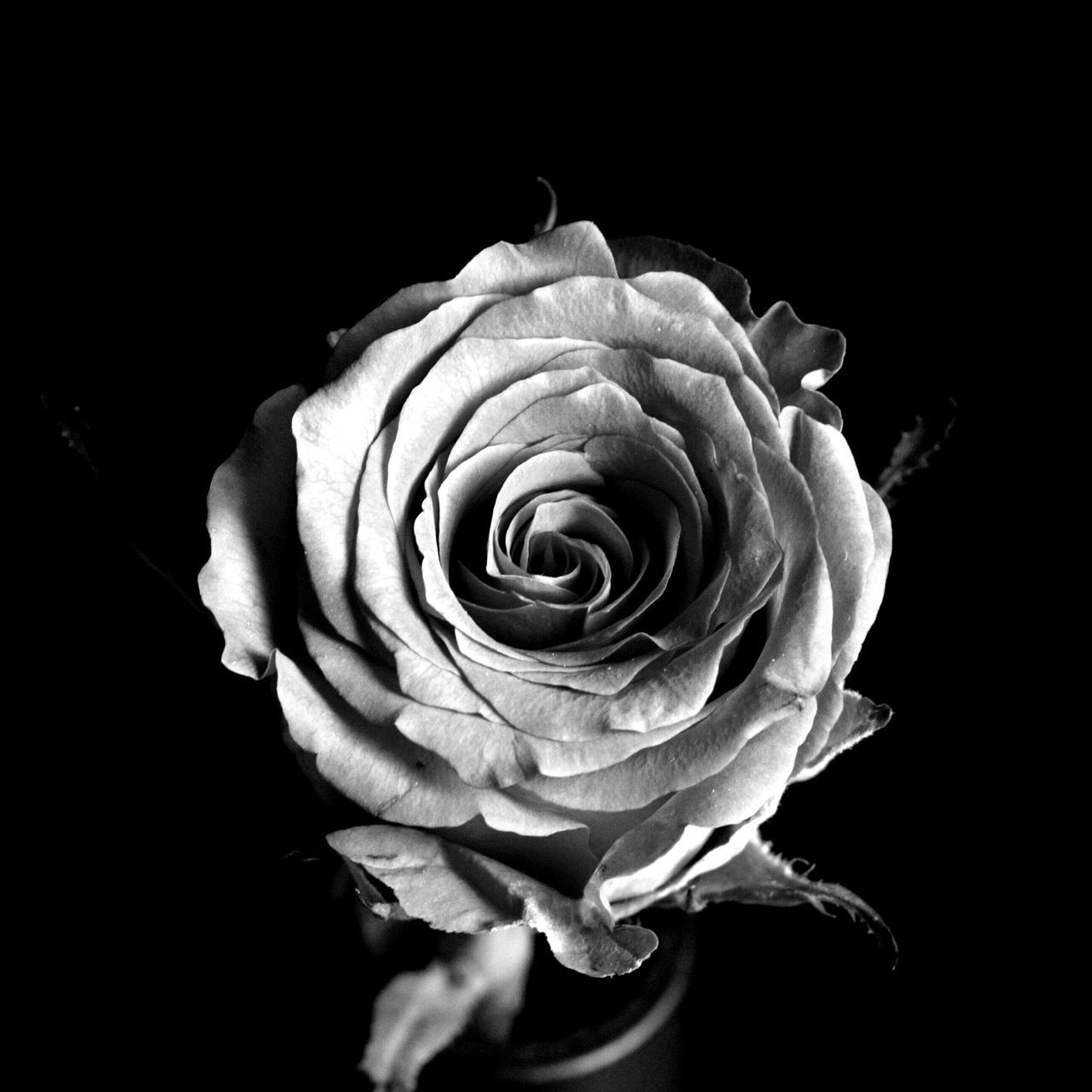 High Angle View Of Rose Blooming Against Black Background