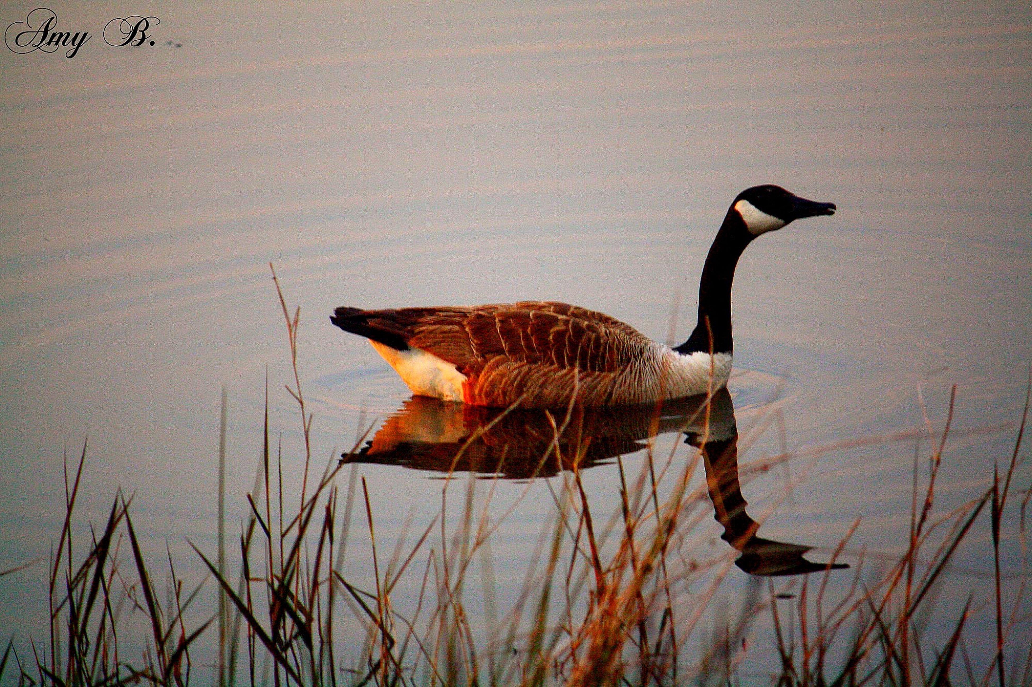 Canadian Geese EyeEm Nature Lover Birds Of EyeEm  Bird Photography Nature Birdwatching Birds Water Reflections