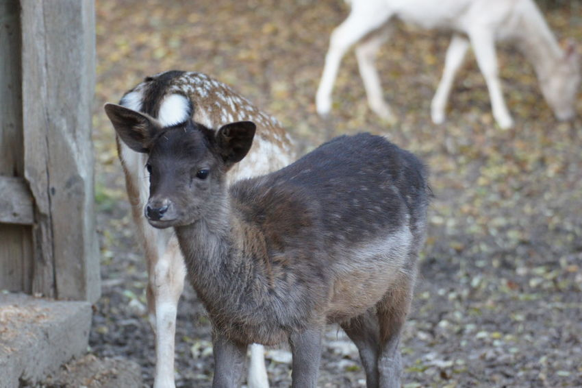 Animal Themes Animal Wildlife Animals In The Wild Close-up Daim Day Deer Mammal Nature No People Outdoors