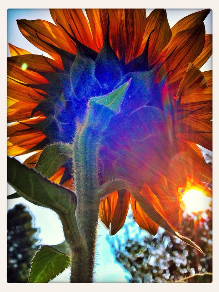 Sunflowers Flowerporn Backlight Flowers