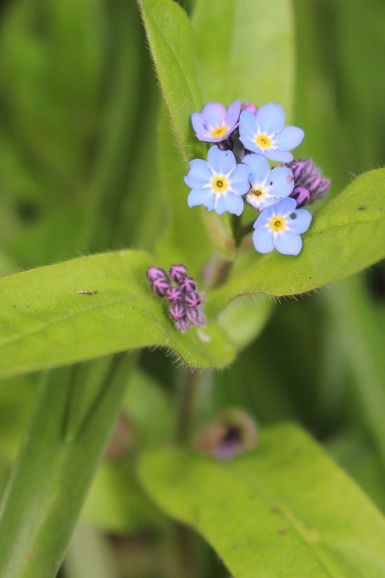 Blooming Flower Flower Head Forgetmenot Green Color Growth Leaf Nature Petal Plant Spring Springtime