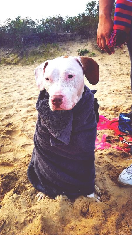 All cold and ready to go. Pitbull