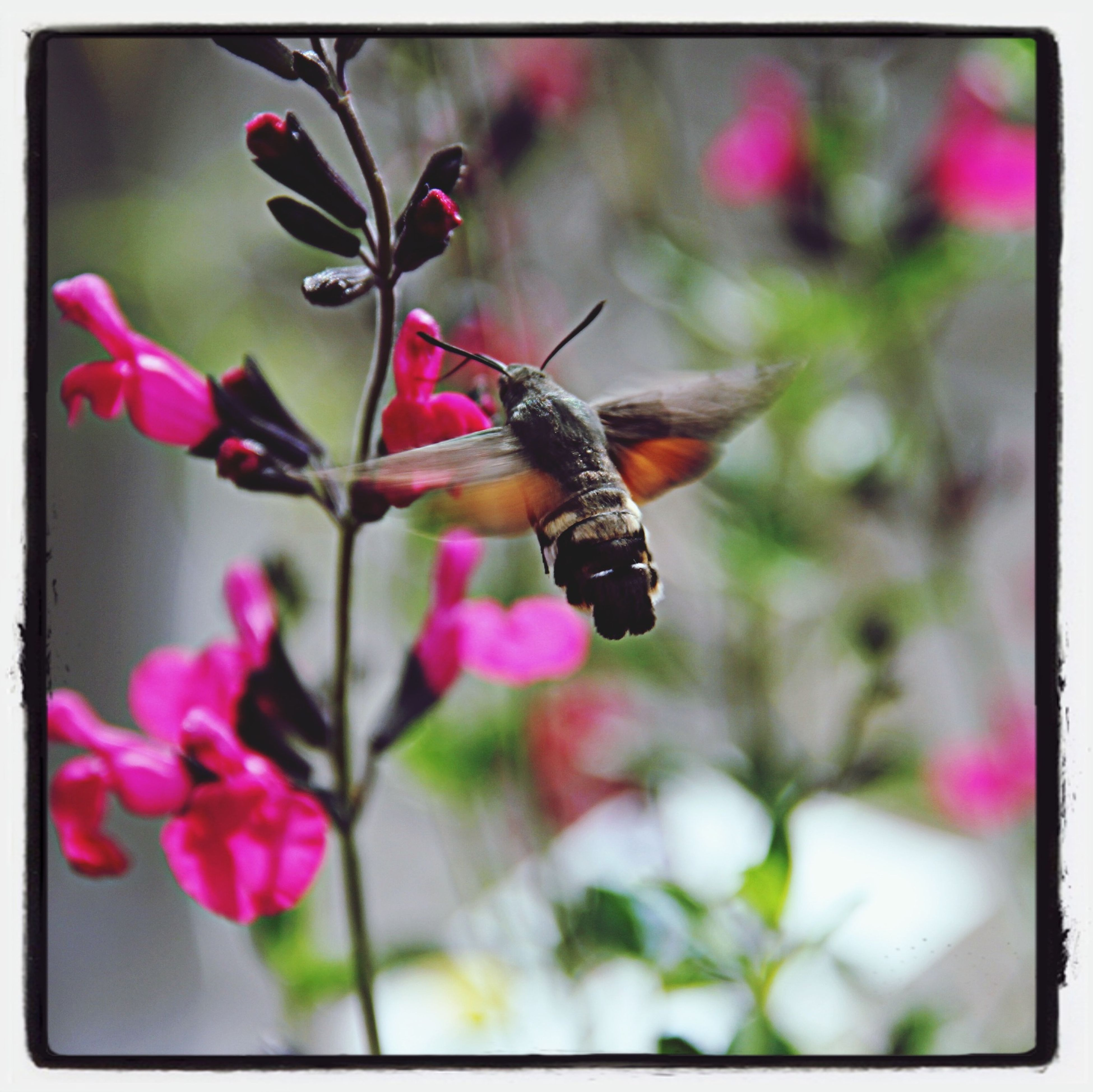 insect, flower, one animal, transfer print, animal themes, animals in the wild, wildlife, focus on foreground, auto post production filter, close-up, fragility, pink color, butterfly - insect, nature, butterfly, beauty in nature, freshness, selective focus, plant, growth