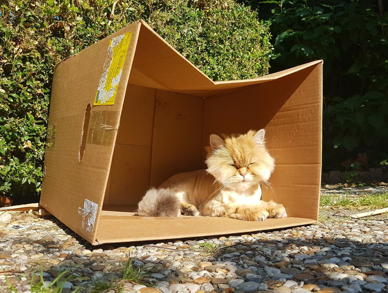 Domestic Cat Outdoors Front Or Back Yard Cardboard Box No People Sunlight Day Mammal Pets Domestic Animals Animal Themes Nature Multi Colored Golden Shaded The Purist (no Edit, No Filter) Raw Photography British Shorthair Cat